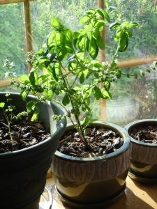 Flourishing basil plant