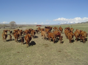 Herding pastured cattle